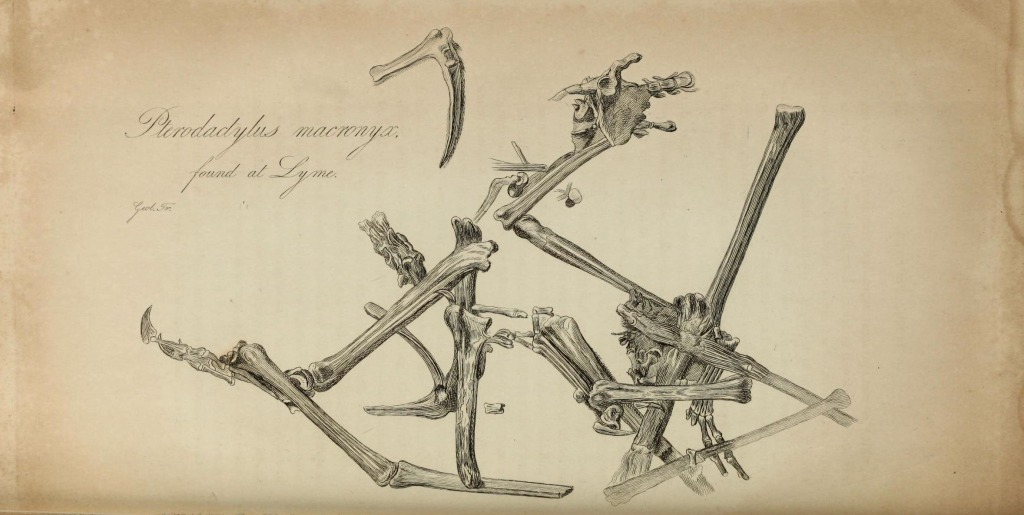 Lithograph image of fossil bones from the Dimorphodon that Anning found