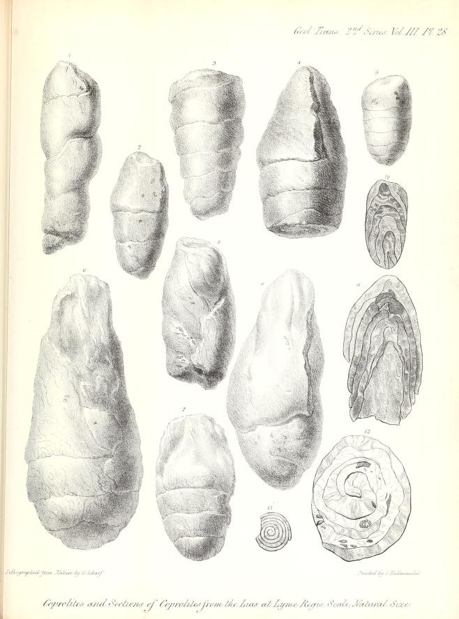 Sketches of coprolites, or fossil fecal material, that Anning discovered