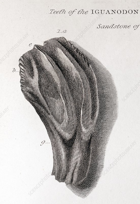 Lithograph sketch of an iguanodon tooth that is ridged and wider at the top than the bottom