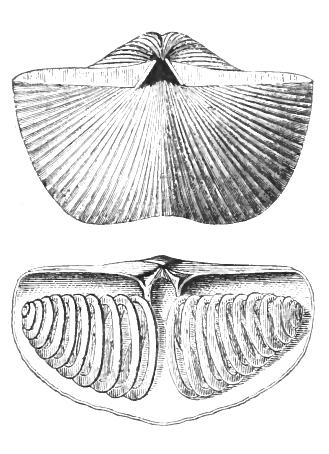 Illustration of a fossil brachiopod, a symmetrical, ribbed, clam-like organism