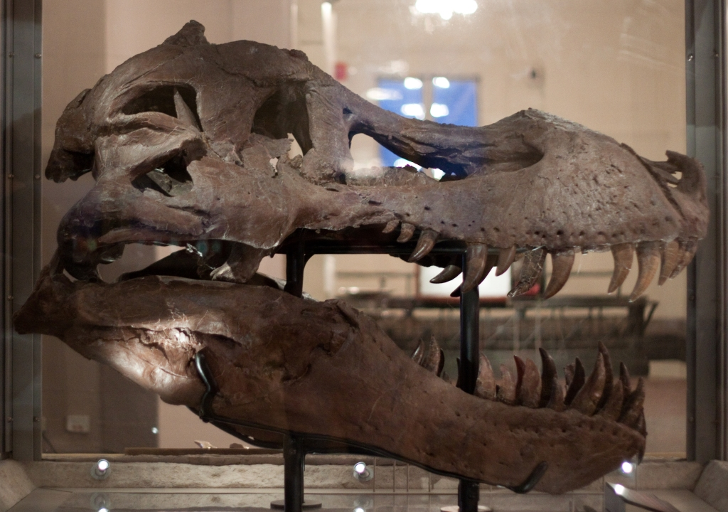 A large tyrannosaurs rex skull in a muesum display